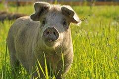 Porc heureux Image libre de droits