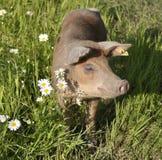 Porc heureux Photographie stock libre de droits