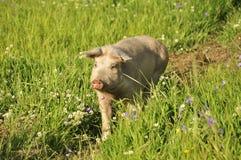 Porc heureux Photo stock