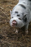 Porc heureux Photos libres de droits