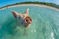 Porc heureux de natation Image libre de droits
