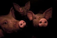 Porc II Images libres de droits
