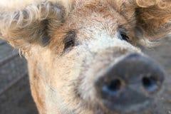Porc laineux - porc d'une chevelure bouclé de mangalica de Mangalitza photos libres de droits
