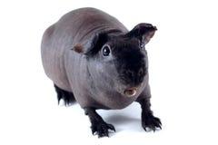 Porc maigre étonné Photos libres de droits