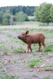 Porc mignon Images stock