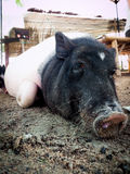 Porc miniature Photos stock