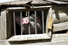 Porc modifié Photo stock