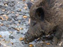 Porc modifié Image stock