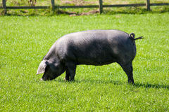 Porc noir cornouaillais de race rare avec l'arrière bouclé Photographie stock