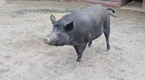 Porc noir de verrat de poil Image libre de droits