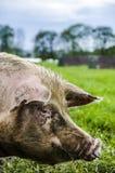 Porc organique Image stock
