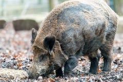 Porc ou porc sauvage de verrue recherchant la nourriture sur la terre Photos stock