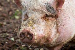 Porc Pot-bellied photographie stock