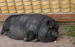 Porc potbellied vietnamien Photographie stock