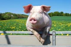Porc sur une tente Photo stock