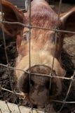Porc regardant par la frontière de sécurité Images stock