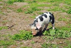 Porc repéré image libre de droits