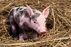 Porc repéré photos libres de droits
