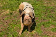 Porc repéré avec des anthracnoses regardant à l'appareil-photo se tenant dans un domaine Photos stock