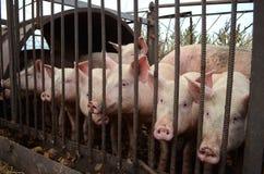 Porc rose d'une barrière en métal Photographie stock libre de droits