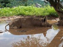 Porc rose se vautrant dans l'étang de boue photo libre de droits