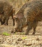 Porc sauvage Image libre de droits