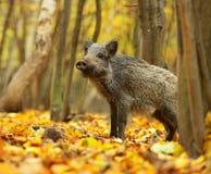 Porc sauvage Photo libre de droits