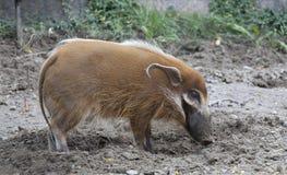 Porc sauvage Photos libres de droits