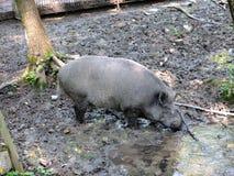 Porc sauvage Images libres de droits