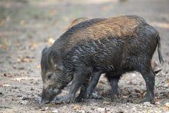 Porc sauvage Photo stock