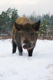 Porc sauvage. Photos libres de droits