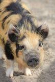 Porc sauvage australien photographie stock libre de droits