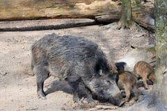Porc sauvage avec des porcelets Image stock