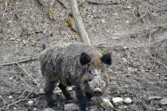 Porc sauvage dans la forêt Image libre de droits
