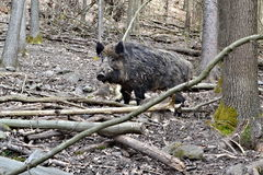 Porc sauvage dans la forêt Photo libre de droits