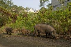 Porc sauvage dans le village d'abandon Images stock