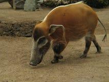 Porc sauvage de la Californie Images libres de droits
