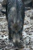 Porc sauvage femelle dans la boue Photo stock