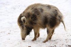 Porc sauvage léger Image libre de droits