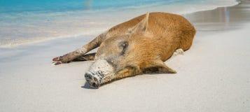 Porc sauvage - plage Curaçao de PortoMari image stock