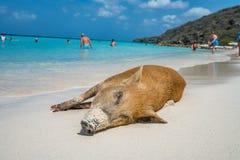 Porc sauvage - plage Curaçao de PortoMari images stock