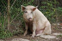 Porc se reposant Photographie stock libre de droits