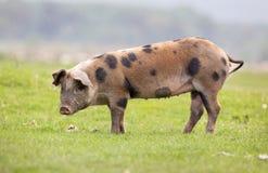 Porc se tenant sur le pré Photographie stock
