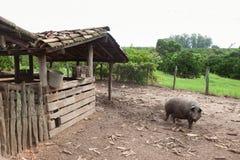 Porc sur l'étable Image libre de droits