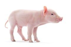 Porc sur le blanc Photos stock