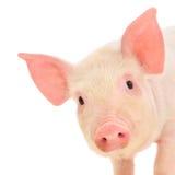 Porc sur le blanc Photographie stock libre de droits