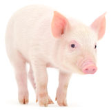 Porc sur le blanc Photos libres de droits
