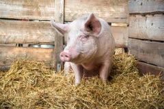 Porc sur le foin et la paille Photographie stock libre de droits
