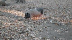Porc sur le pâturage dans la forêt banque de vidéos
