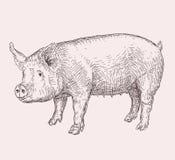 Porc tiré par la main illustration stock